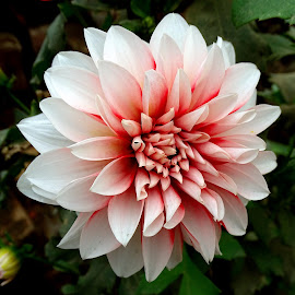 Dahlia  by Asif Bora - Flowers Flowers in the Wild (  )