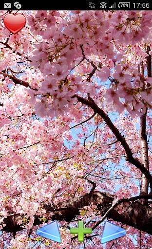 櫻花在日本