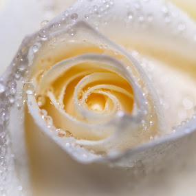 Cream Rose by Shirley Warner - Flowers Single Flower ( rose, macro, single flower, white, waterdrops, closeup,  )