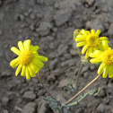 Buck's horn groundsel