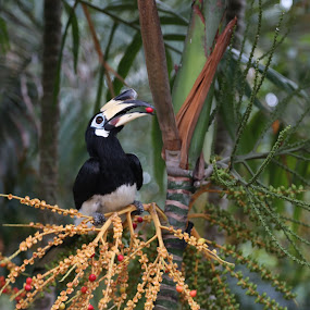 Hornbill by Manoj Ojha - Animals Birds ( #orientalvillagelangkawi #wildlife, #hornbill #langkawi #malaysia #feb2016 #rarebird #canon5dmarkiii )