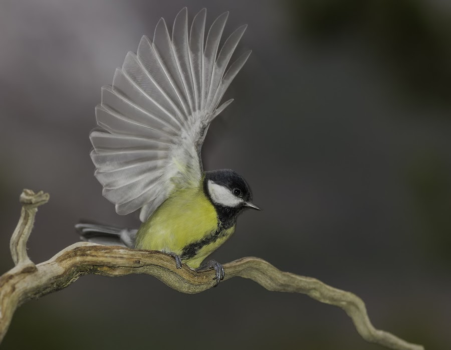 Great Tit (Parus major) by Rita Barbro Skogset - Animals Birds ( great tit, bird, animals, autumn )