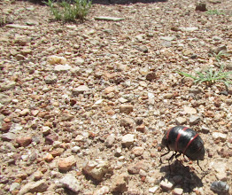 Photo: Blister beetle