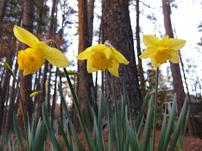 Photo: The First Daffodils Of Spring