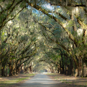 Long Drive by RomanDA Photography - Landscapes Forests ( wormsloe, savannah, nature, 2013, autumn, trees, landscape )