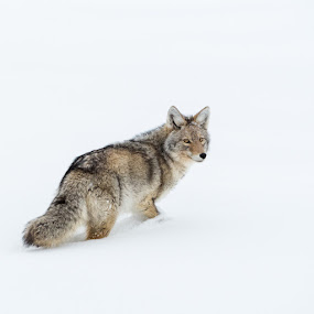 Looking Back by John Smith - Animals Other Mammals ( canine, coyote, winter, cold, snow, wildlife, dog )