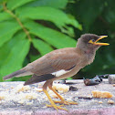 Common Myna (chick)
