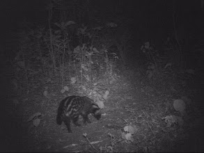 Photo: Caught on the cameras we left - a Civet walking past...