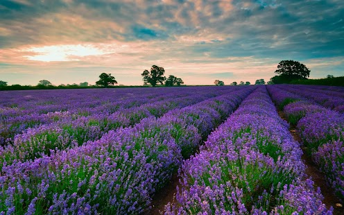 Lavender Wallpapers- screenshot thumbnail