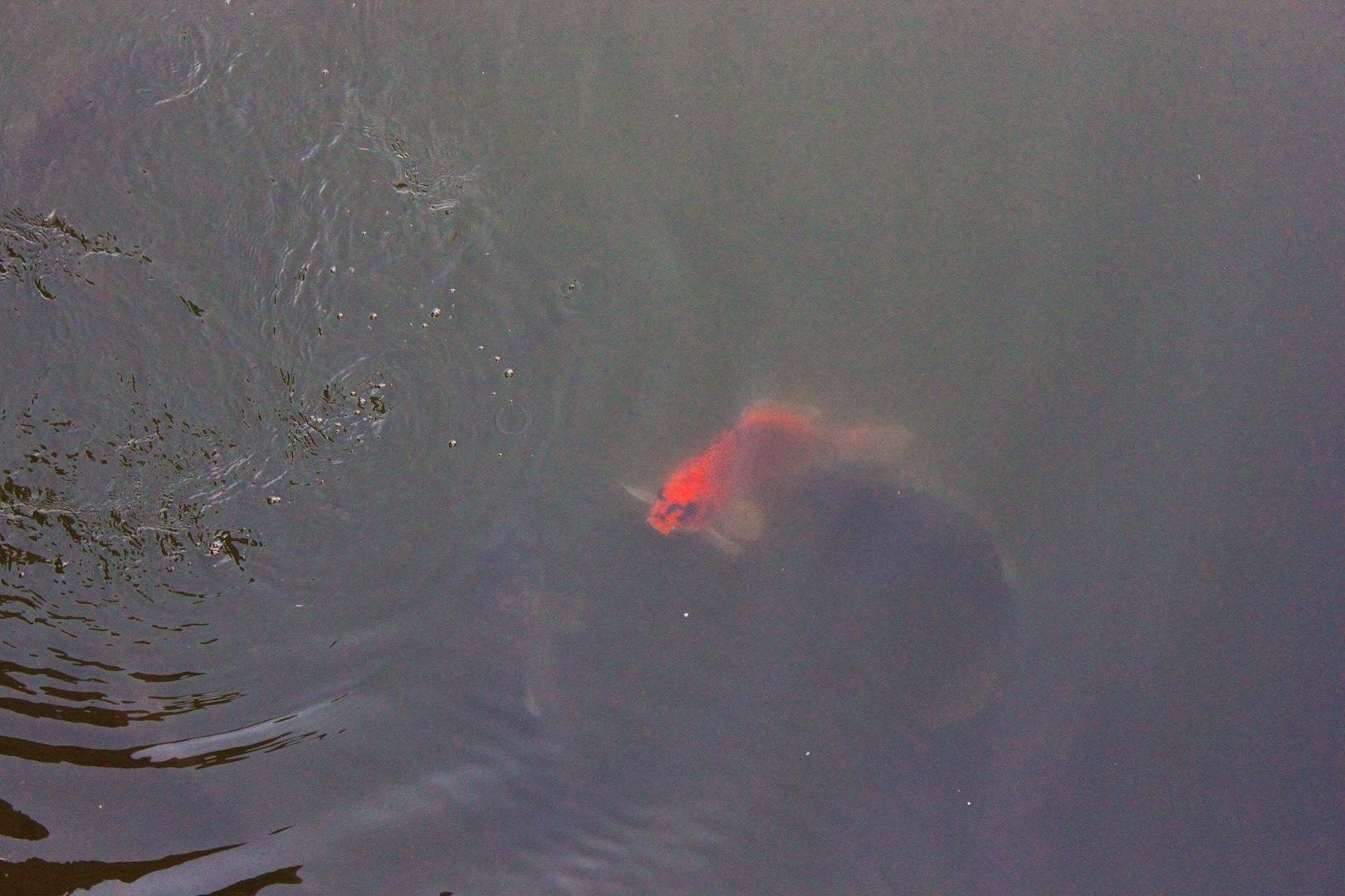 il pesciolone rosso di vdepalo