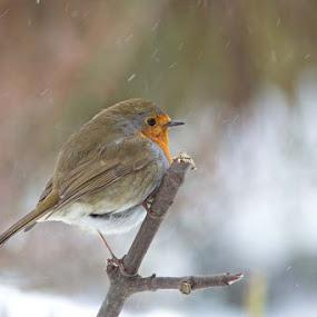 Snowy Robin by Louise Morris - Animals Birds ( robin, erithacus rubecula, garden )