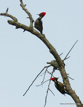 Photo: Pair of LIneated Woodpeckers; La Tovara boat ride