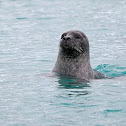 Foca común (Common seal)
