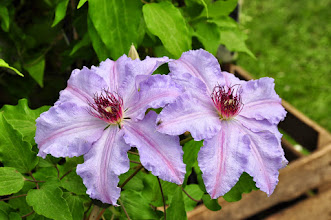 Photo: Clematis 'The first Lady' closeup Patens group