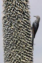 Photo: Slender-billed Starling