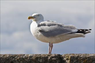 """Photo: Bird N° 34  Herring Gull - Larus argentatus Some will be glad to know that I'm getting towards the end of my species shots from the Farnes Islands, although I may post some extra shots with a shorter comment.  Description The male Herring Gull is 24–26 inches long and weighs 2.3-2.8 lb while the female is 22-24.5 inches and weighs 1.8-2.2 lb. The wingspan is 54–59 inches. Adults in breeding plumage have a grey back and upperwings and white head and underparts. The wingtips are black with white spots known as """"mirrors"""" . The bill is yellow with a red spot and there is a ring of bare yellow skin around the pale eye. The legs are normally pink at all ages but can be yellowish in some subspecies. Non-breeding adults have brown streaks on the head and neck. Male and female plumage is identical at all stages of development, however adult males are often larger. Juvenile and first-winter birds are mainly brown with darker streaks and have a dark bill and eyes. Second-winter birds have a whiter head and underparts with less streaking and the back is grey. Third-winter individuals are similar to adults but retain some of the features of immature birds such as brown feathers in the wings and dark markings on the bill. The European Herring Gull attains adult plumage and reaches sexual maturity at an average age of four years old.  Behaviour Herring Gull flocks have a loose pecking order, based on size, aggressiveness and physical strength. Adult males are usually dominant over females and juveniles in feeding and boundary disputes, whilst adult females are typically dominant when selecting nest sites. Communication between these birds is complex and highly developed — employing both calls and body language. Two identical vocalizations can have very different (sometimes opposite) meanings, for example — depending on the positioning of the head, body, wings and tail relative to each other and the ground in the calling gull. Unlike many flocking birds, European Herring Gul"""
