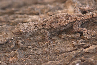 Photo: Found one! A Tropical House Gecko (Hemidactylus mabouia).
