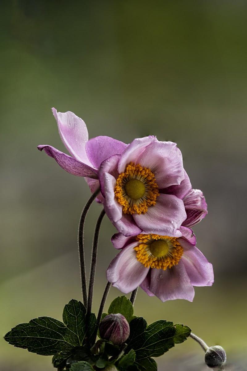 Anemone rosa. di pongo