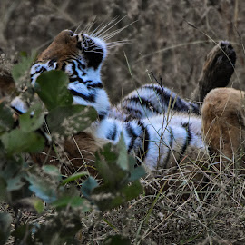 by Deven Dadbhawala - Animals Lions, Tigers & Big Cats