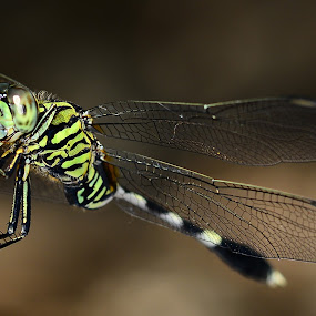 Yellow Dragonfly by Azmi Jailani - Animals Insects & Spiders