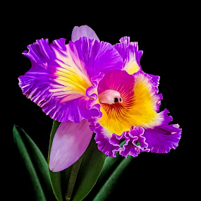 Magenta Orchid 101 by Joseph Vittek - Flowers Single Flower ( magenta, orchid, cattleya, laelia, pink, gold,  )
