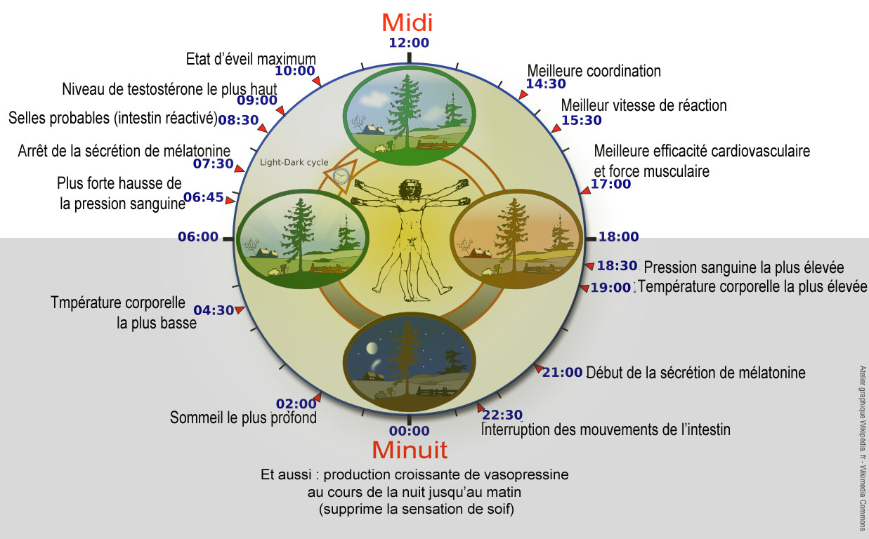 https://upload.wikimedia.org/wikipedia/commons/d/d8/Biological_clock_humanNycth%C3%A9m%C3%A9ralFrenchVersion.jpg
