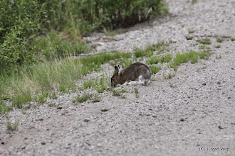 Photo: Dempster Highway. Snowfoot Hare