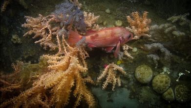 Photo: An Acadian redfish uses a colony of red tree coral (Primnoa sp.) for shelter (Image courtesy of Gulf of Maine Deep Sea Coral Science Team 2014/NURTEC-UConn/NOAA Fisheries/UMaine)