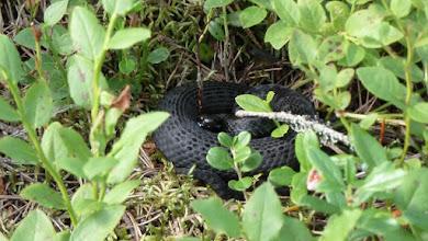 Photo: Snake hiding in blueberries