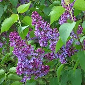 Beautiful lilac branch