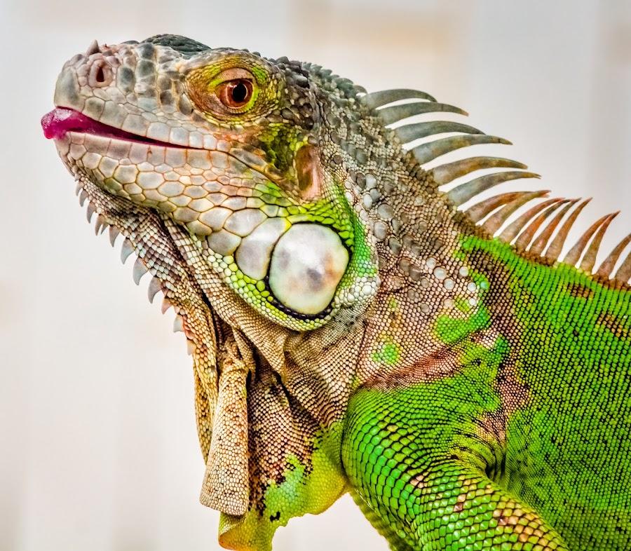 by Joy Advent - Animals Reptiles ( dragons, green, iguana, iggy, reptile, cuteanimals,  )