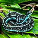 Florida blue garter snake