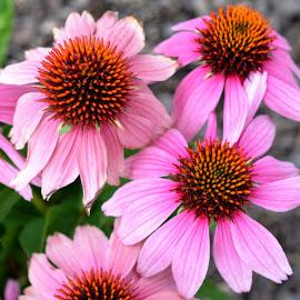 Cantigny Coneflower by Beth Bowman - Flowers Flower Gardens (  )