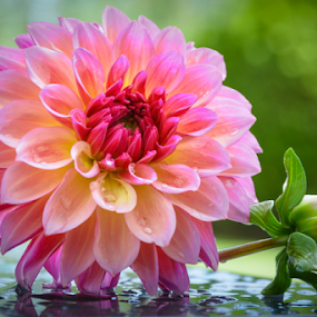 Dahlia by Garces & Garces - Flowers Single Flower