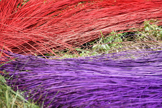 Photo: Year 2 Day 32 - Drying Dyed Reeds