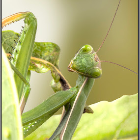 Mantis by Michel Arel - Animals Insects & Spiders ( insects, michel arel, praying mantis )