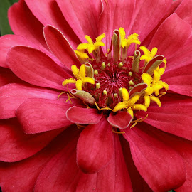Dahlia Center by Millieanne T - Flowers Single Flower