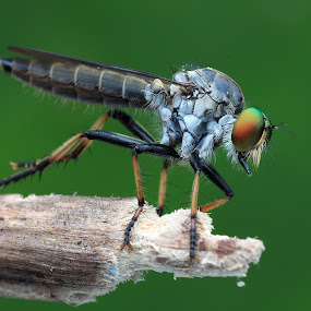Robber Fly by Paramasivam Tharumalingam - Animals Insects & Spiders ( macro, nature, insect, close up,  )