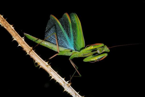 mantis di fabio_sartori