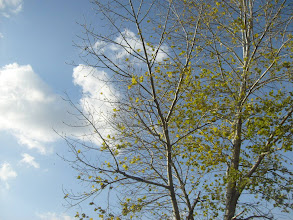 Photo: Nyárfa felhővel