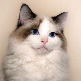 Max  by Irene Orloff - Animals - Cats Portraits