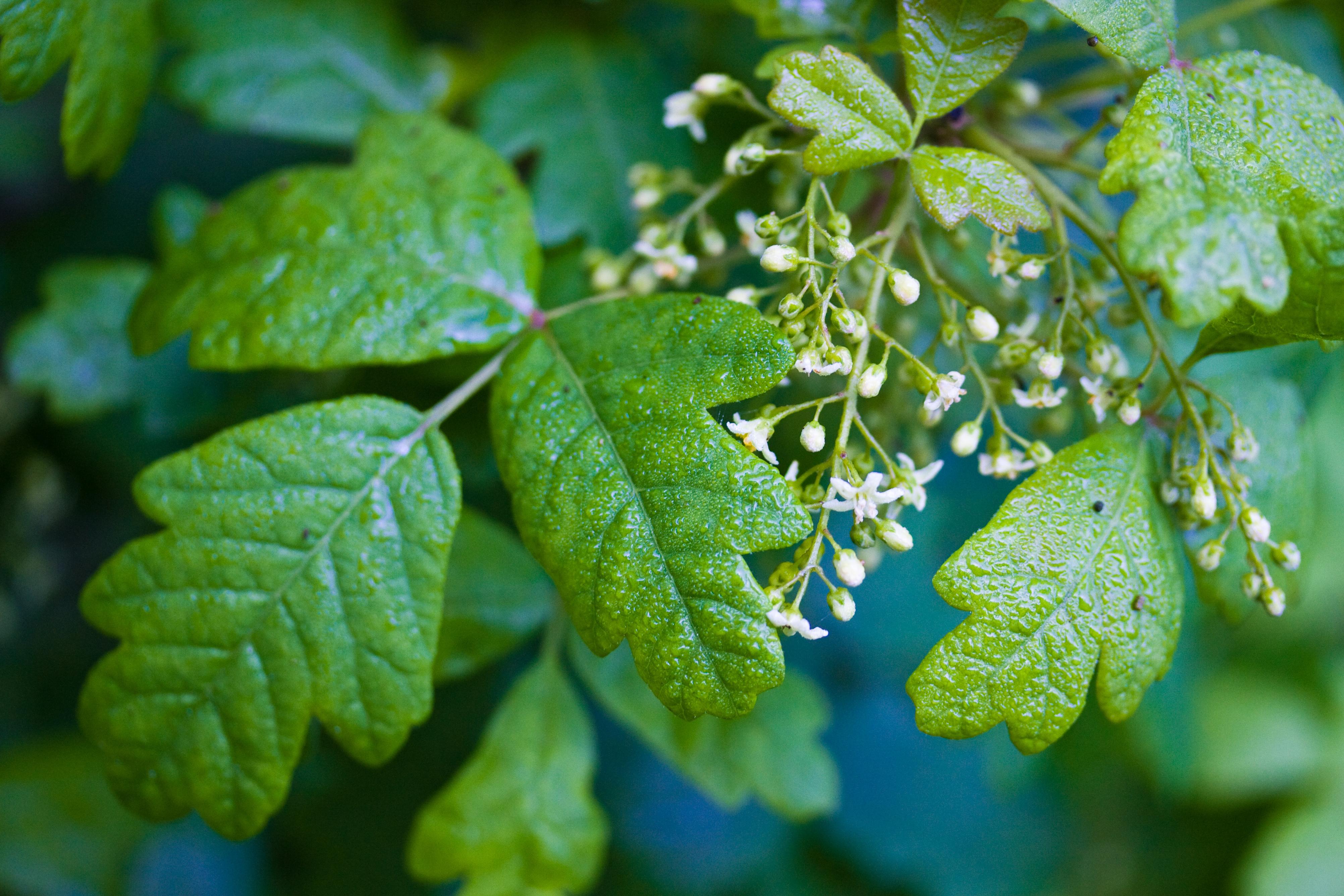 poison oak - Encyclopedia of Life