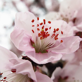 spring flowers by Ionela Garovat - Flowers Tree Blossoms ( spring flowers, nature, tree, flowers )