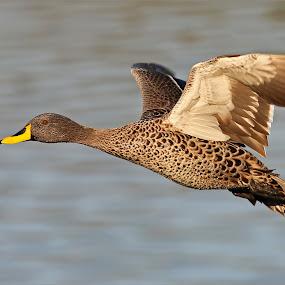 Duck in flight by Johann Harmse - Animals Birds ( in flight, nature, duck, bird, birds, ducks,  )