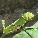 Lime Swallowtail Larvae in its 5th Instar