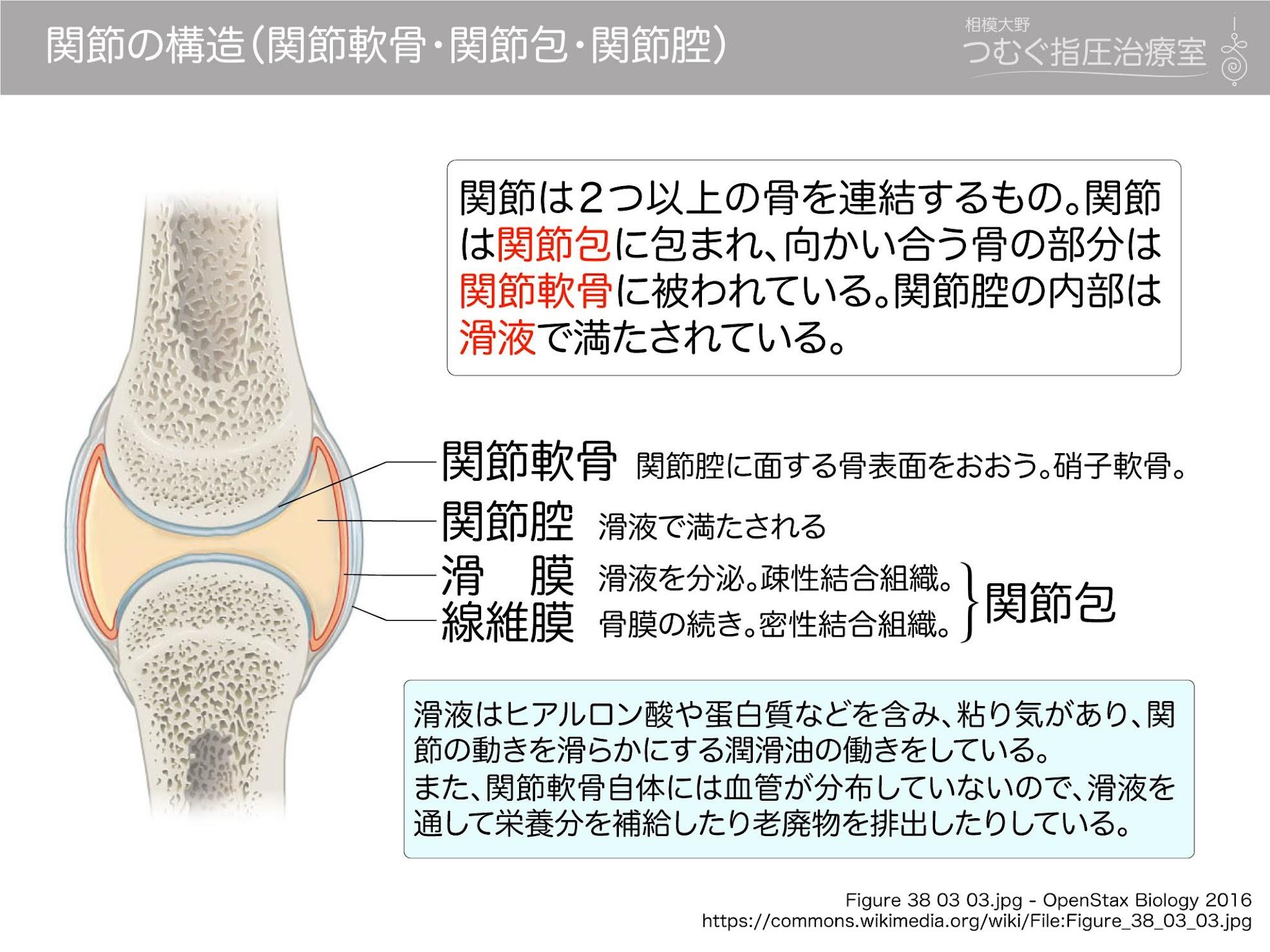 関節の構造(関節軟骨・関節包・関節腔) | 徹底的解剖學