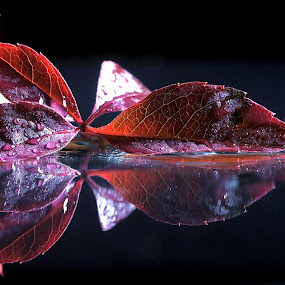 Leaf by Vineet Johri - Nature Up Close Leaves & Grasses ( water, pwcfallleaves, red, drops, leaf, fall, color, colorful, nature )