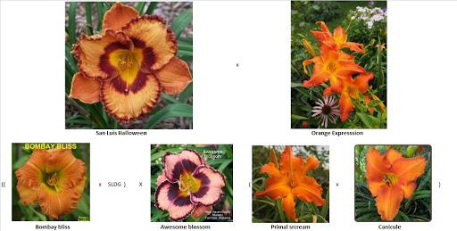 Semis d'Hemerocallis ( hémérocalles )  - Page 6 KcU0I99WkH5Or12u6sUwn3273sR8zsYUifuubvl8VGpvNzzCBxYDZX9KtecyetdBd7axtOOKq92FxB9J241DHKOmtscclMb2q14zC8Pm3sIZqZ12-rlzcurFVNAZOr_nP2JppDxTYHw