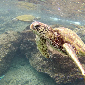 Riiiiightteeeoouuuuusss!! by Brendan Mcmenamy - Novices Only Wildlife ( maui, finding, turtle, nemo, hawaii )