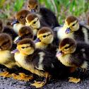 Feral Muscovy Ducks